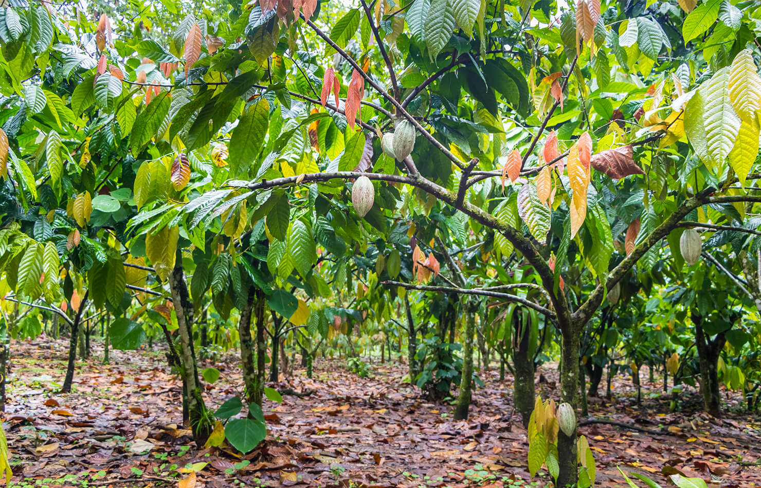 Stakeholder partnerships for Nuku cocoa value chain project
